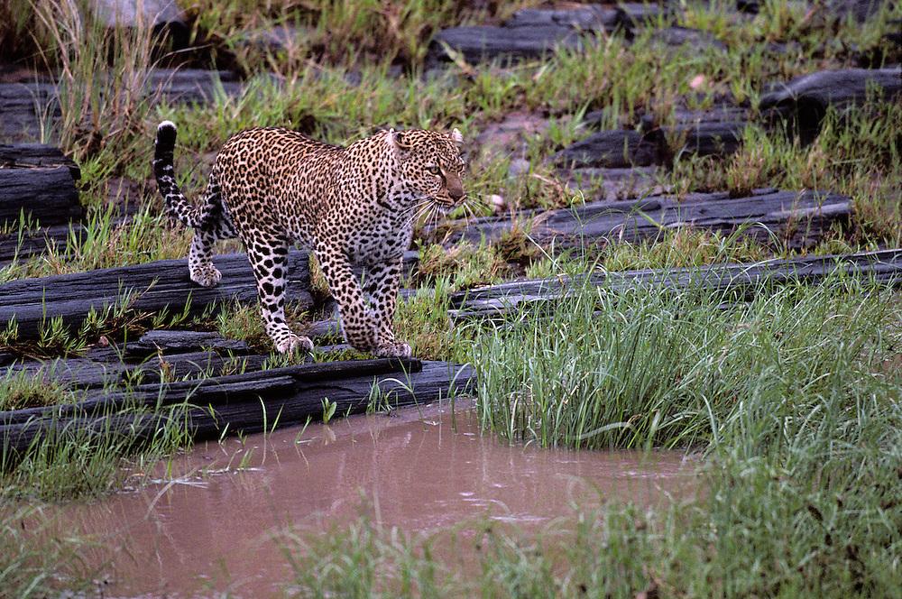 Africa, Kenya, Masai Mara Game Reserve, Adolescent Male Leopard (Panthera pardus) leaps across Telek River channel