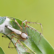 Female Lynx spider ,Oxyopes shweta , with nest.