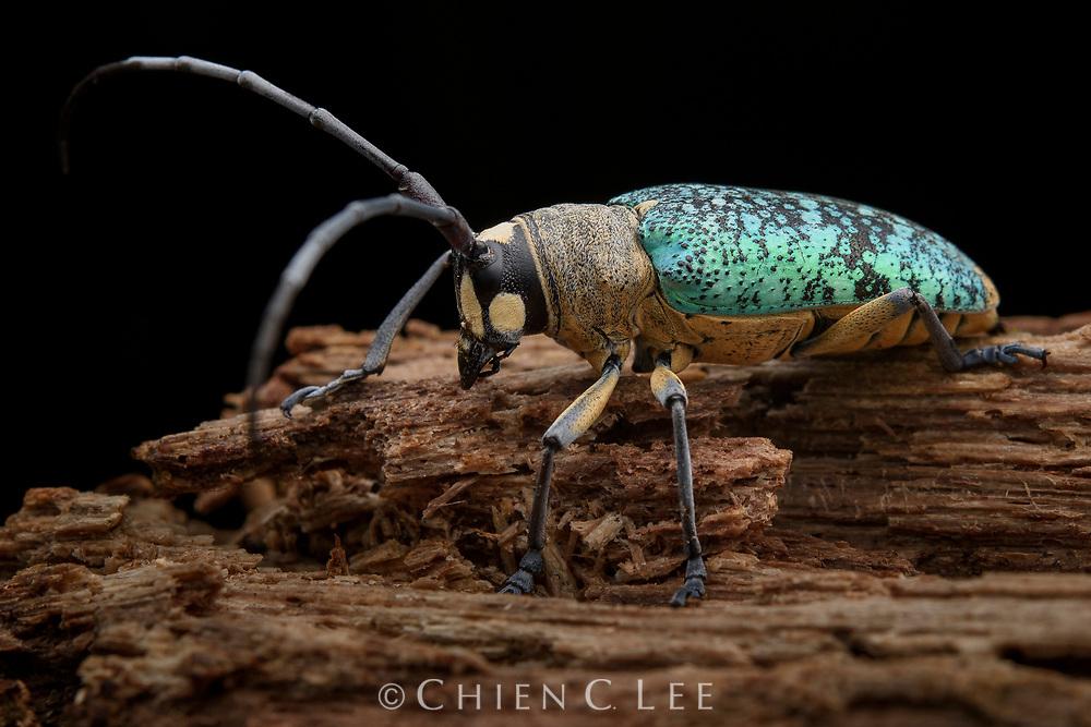 Longhorn beetle (Pericycos teragramus). Sarawak, Malaysia.