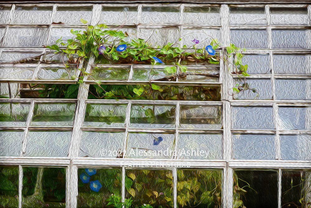 Blue and purple morning glory vines growing through greenhouse window, blended with oil paint effects.