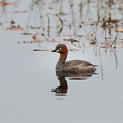 The little grebe (Tachybaptus ruficollis), also known as dabchick, is a member of the grebe family of water birds.