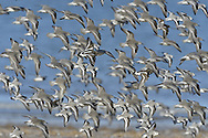 Mixed wader flock - Knot - Calildris canutus, Sanderling - Calidris alba, Turnstone - Arenaria interpes