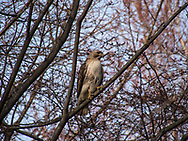 Red-tail hawk in the Ramble of Central Park