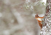 Red Squirrel (sciurus vulgaris) in winter hanging from trunk of Oak tree, In the Cairngorms National Park, Scotland, UK