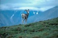Dall's Sheep (Ovis dalli) - also known as Stone Sheep - Horseshoe Mountain, Muskwa-Kechika, British Columbia, Canada   Photo: Peter Llewellyn