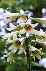 Cardiocrinum giganteum syn. Lilium giganteum<br /> Giant lily