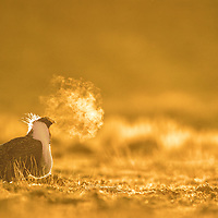 Male Greater Sage-Grouse in a silhouette gathers on a lek near White Mountain to perform annual spring courtship in high desert area in Wyoming