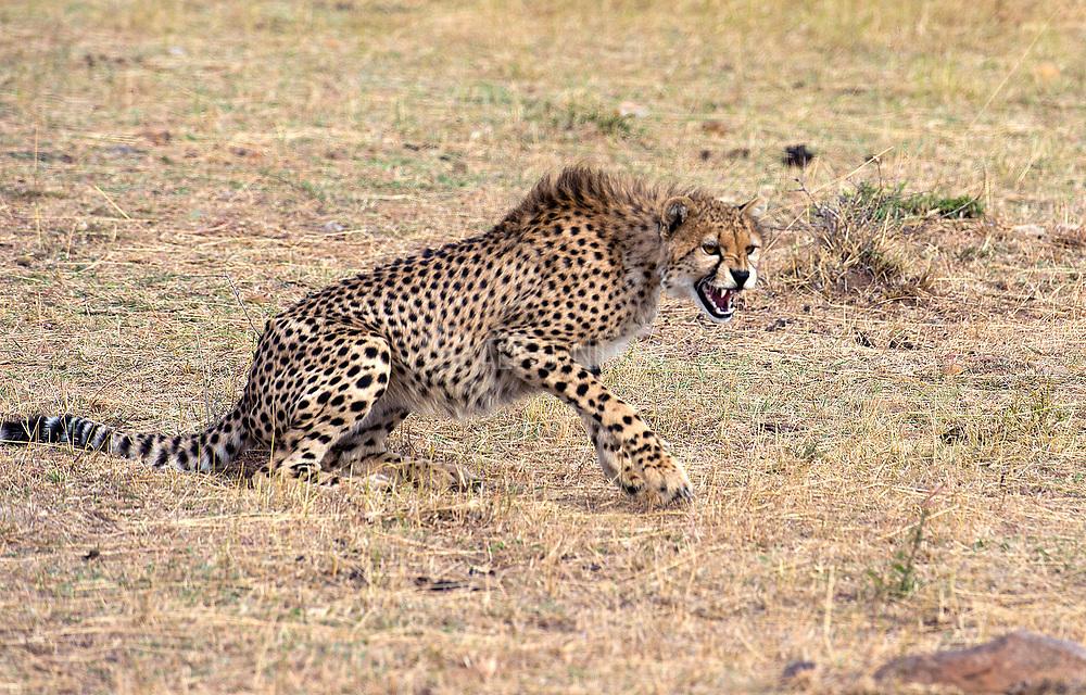 Aggressive cheetah. Maasai Mara, Kenya.