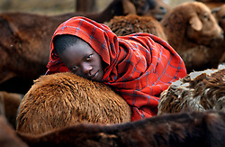 Maasai pastoralists who participate in the Farmers Field School take their cattle to the market  in a village near Narok, Kenya November 4, 2003. (Photo by Ami Vitale)