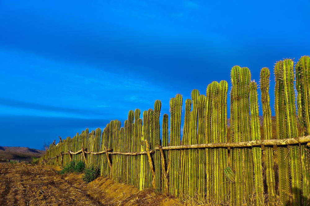 A fence made of organ pipe cactus, near the Los Osuna Agave Distillery, near La Noria (near Mazatlan), Sinaloa, Mexico