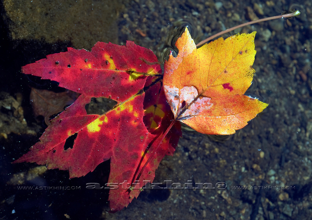 Marple leafs.