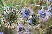 Echinops adenocaulos, Common Globe thistle. Photographed in Israel