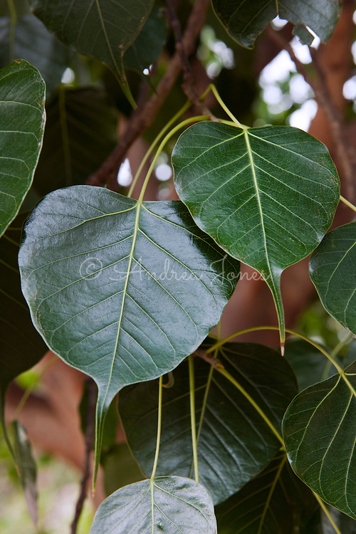 Ficus religosa (Peepal tree). Singapore Botanic Garden, Singapore.