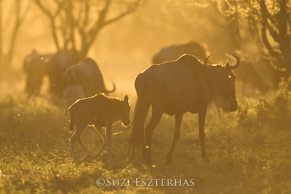 Wildebeest<br /> Connochaetes taurinus<br /> Female with calf on sunset<br /> Ngorongoro Conservation Area, Tanzania