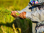 08 NOVEMBER 2017 - NA HIN LOT, NAKHON NAYOK, THAILAND: A woman bundles a freshly harvested sheaf of green rice during the 2017 rice harvest in Nakhon Nayok province. Thailand is the second leading rice exporter in the world and 16 million Thais work in the rice industry.     PHOTO BY JACK KURTZ