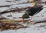 Pied oystercatcher (Haematopus longirostris) feeding on a beach at Sea Lion Island, the Falkland Islands.