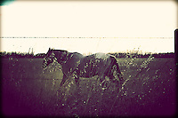 A horse takes a stroll along a barbed wire fence in a field near Millet, Albert, Canada.