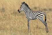 Baby zebra giving out a call.