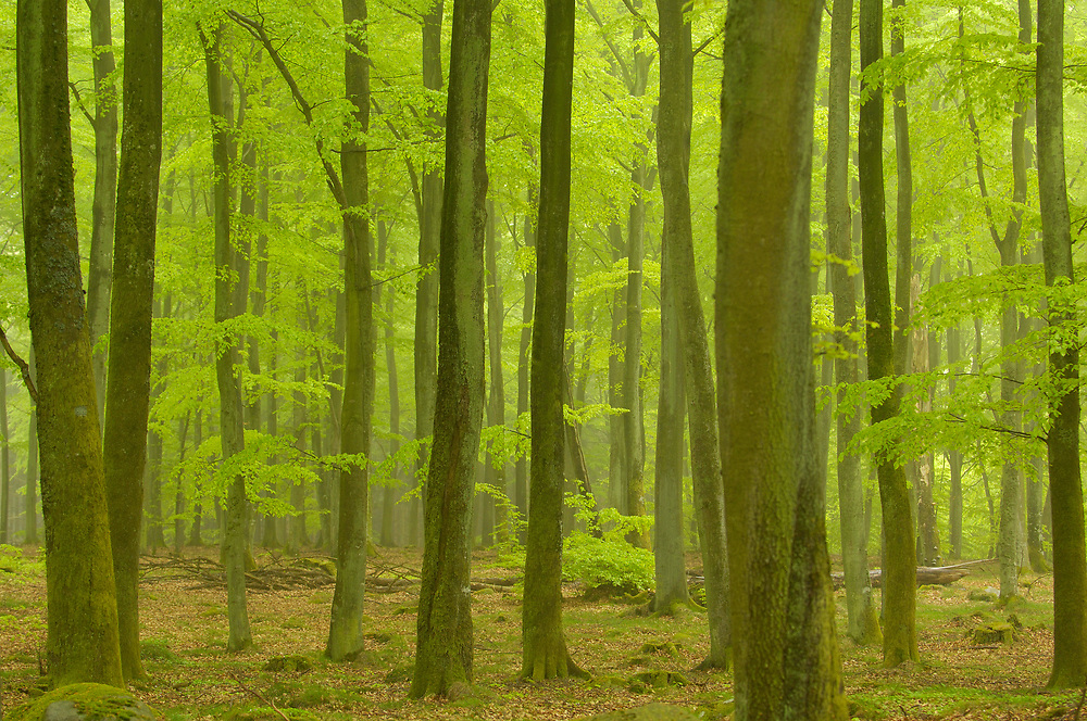 Beech forest, Fagus sylvatica, Skanes Tranas, Skane, Sweden
