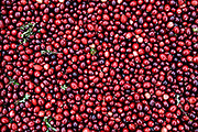 Fresh picked cranberries.