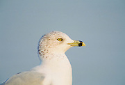 Seagull, UK