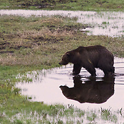 Yellowstone Grizzly Bear reflected in the Lamar Valley.
