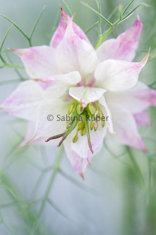 Nigella damascena 'Mulberry Rose' - love-in-a-mist