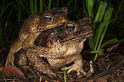 Cane Toad (Rhinella marina) Mating<br /> Rain Forest<br /> Iwokrama Reserve<br /> GUYANA<br /> South America