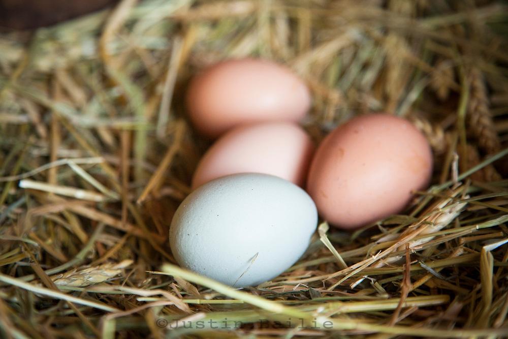 Organic  chicken eggs in a nest.
