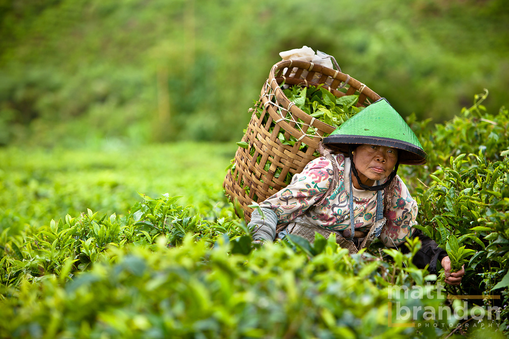 Tea Plantation in Sumatran, Indonesia