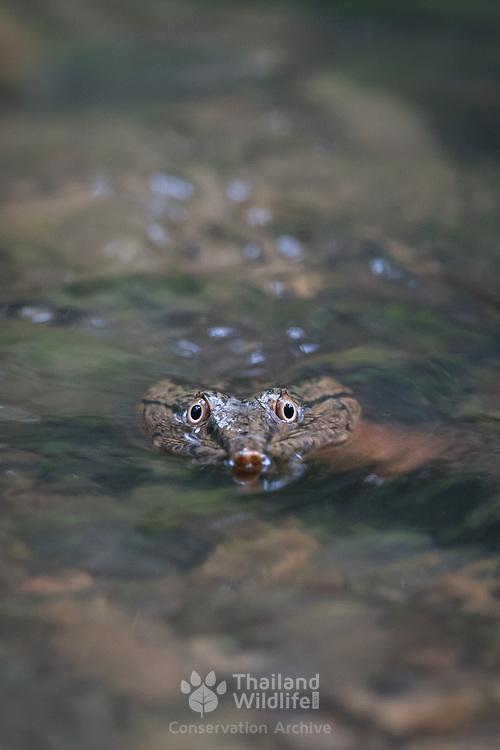 Malayan softshell turtle (Dogania subplana) in Kaeng Krachan National Park, Thailand.