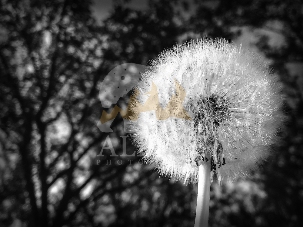 A seedhead of a dandelion as seen raising into the air in a warm, Summer afternoon in Gaesti, in the south of Romania.