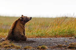 North American brown bear / coastal grizzly bear (Ursus arctos horribilis) sow sitting in a field, Lake Clark National Park, Alaska, United States of America