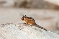 Another photo of my newfound buddy while shooting landscapes just before sunset on Washington's Pacific coastline. Townsend's chipmunks are unlike any other species of chipmunk I've seen all over North America. I don't like to personify wildlife, but these little critters are FULL of personality!