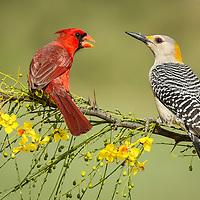 Melanerpes aurifrons, Cardinalis cardinals
