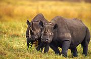 Black rhino, mother (l) and daughter, Ngorongoro Crater, Tanzania