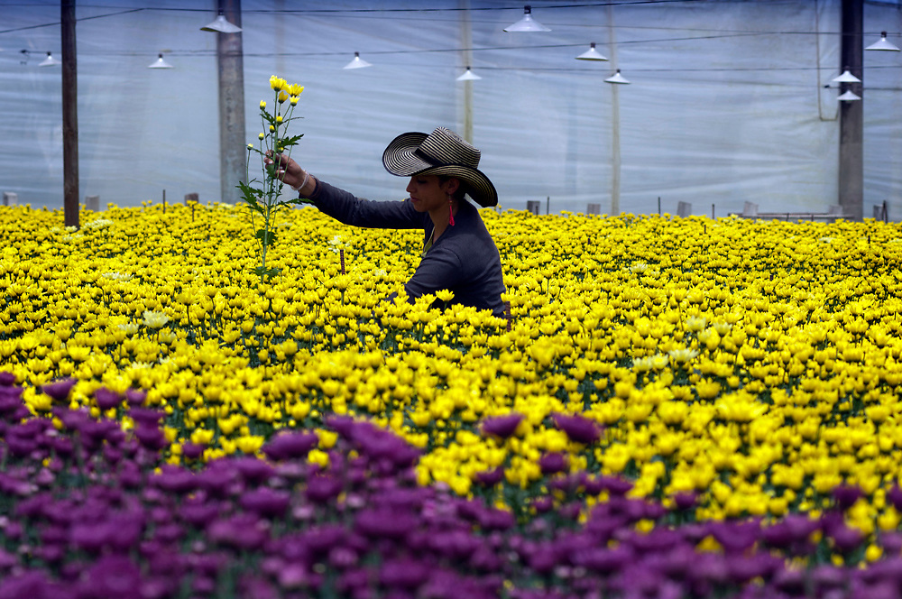 Inside of a greenhouse a flower farm worker gathers bunches of Chrysantemums to make into bouquets that will be shipped all over the world.  Colombia is one of the world's biggest exporters of cut flowers because of its year round spring like temperatures.