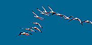 Lesser Flamingos (Phoenicopterus minor) flying over Lake Nakuru, Kenya.