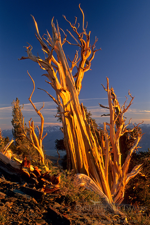 Bristlecone Pine at sunset, looking toward the Sierra, Ancient Bristlecone Pine Forest White Mountains, CALIFORNIA