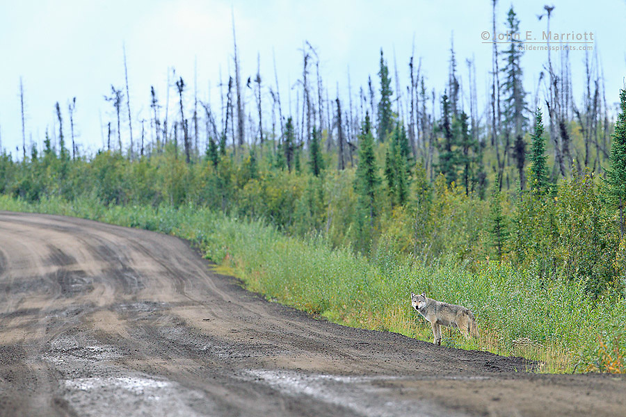 Wild wolf on the Dempster Highway, Yukon, Canada