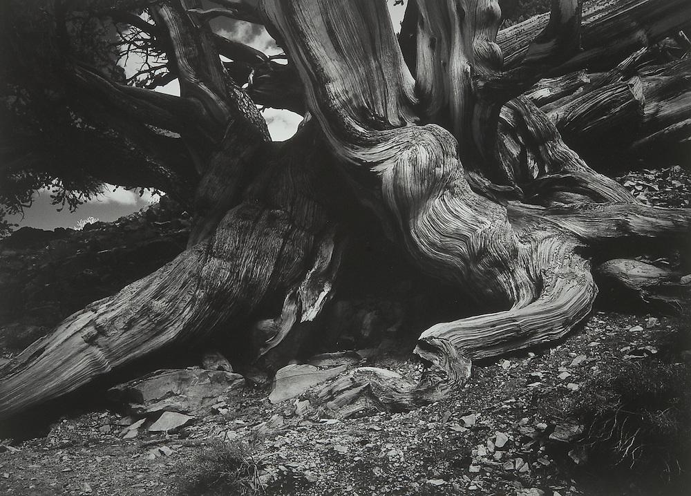 Bristlecone Pine No. 1