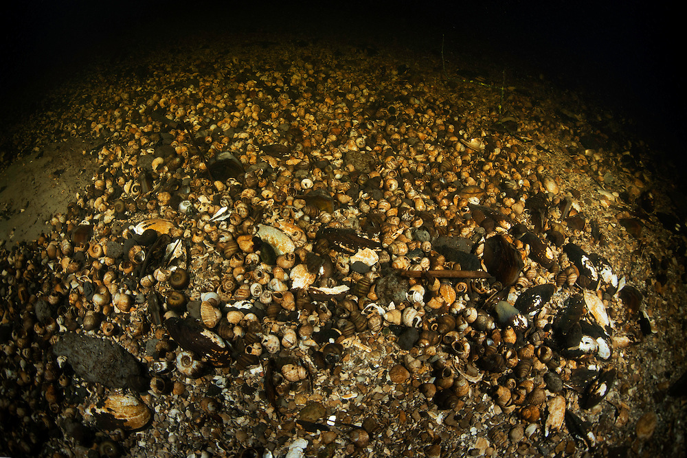 The bottom covered in empty shells in a deeper basin of a tributary of the old Danube, Danube Delta, Romania.