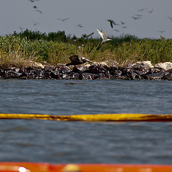 A Brown Pelican is seen flying along the bank at Queen Bess Island off the coast of Louisiana on Thursday, June 17 2010. Oil from the Deepwater Horizon spill continues to impact areas across the coast of gulf states.