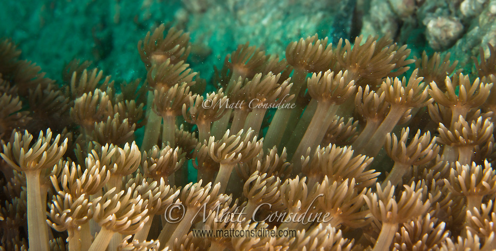 Just like a wave of hands of the crowd at a game of football, the soft coral waves back and forth in the current, filter feeding on micro organisms, Yap Micronesia<br /> (Photo by Matt Considine - Images of Asia Collection)
