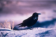 Common Raven (Corus corax), near Blue Mesa area, Petrified Forest National Park, Arizona. ..Subject photograph(s) are copyright Edward McCain. All rights are reserved except those specifically granted by Edward McCain in writing prior to publication...McCain Photography.211 S 4th Avenue.Tucson, AZ 85701-2103.(520) 623-1998.mobile: (520) 990-0999.fax: (520) 623-1190.http://www.mccainphoto.com.edward@mccainphoto.com.
