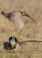 Male Lesser Prairie-Chickens fighting over a female