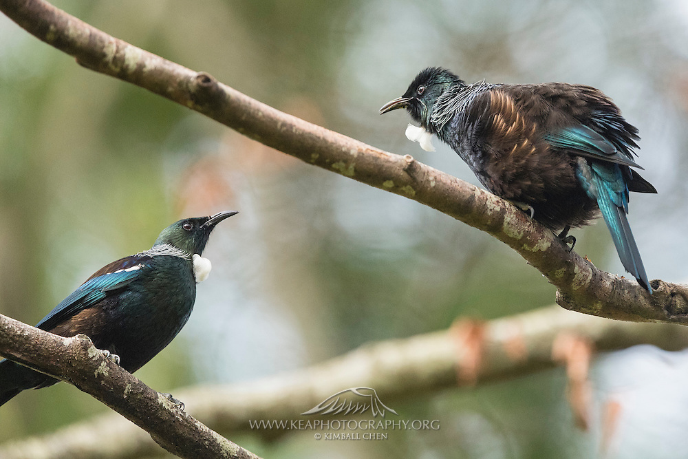 An adult tui fluffs up and attempts to intimidate a smaller juvenile tui.