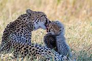 Monther cheetah licking her three months old cub. Photo from Maasai Mara, Kenya.