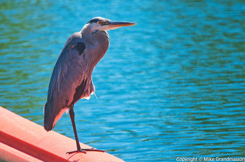 Great Blue Heron (Ardea herodias)<br />Pawitik<br />Ontario<br />Canada