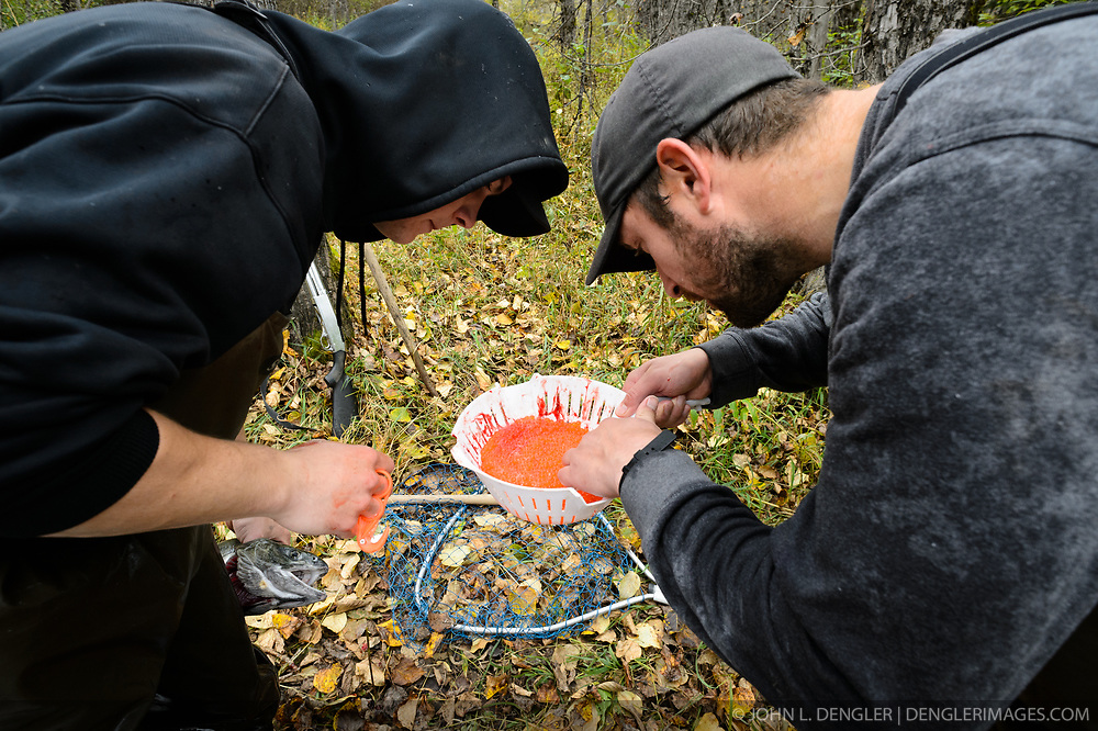 Dylan Burbank (left) and David Campbell, fish technicians for the non-profit Northern Southeast Regional Aquaculture Association, Inc. (NSRAA), inspect roe from a female chum salmon captured on the man-made spawning channel of Herman Creek located near Haines, Alaska.  <br /> <br /> NSRAA built the channel to collect wild broodstock by harvesting spawning female and male salmon for their eggs and milt to artificially spawn wild chum salmon. The eggs are fertilized with milt and placed in stream-side incubation boxes on Herman Creek and the Klehini River. In 2014, 2.4 million eggs were seeded into these incubation boxes. The 2013 incubation box survival rate was 90%. Without the artificial spawning, natural survival is said to be only 10%.<br /> <br /> It is important to remove bad eggs to keep the fish healthy while in the incubation boxes.<br /> <br /> Based in Sitka, Alaska, NSRAA conducts salmon enhancement projects in northern southeast Alaska. It is funded through a salmon enhancement tax (of three percent) and cost-recovery income. NSRAA also produces sockeye, chinook, and coho salmon.<br /> <br /> Male chum salmon return to Herman Creek to spawn with female chum salmon during the fall chum salmon run. The chum salmon return to freshwater Herman Creek, tributary of the Klehini River after living three to five years in the saltwater ocean. Spawning only once, chum salmon die approximately two weeks after they spawn. <br /> <br /> Chilkat River and Klehini River chum salmon are the primary food source for one of the largest gatherings of bald eagles in the world. Each fall, bald eagles congregate in the Alaska Chilkat Bald Eagle Preserve.